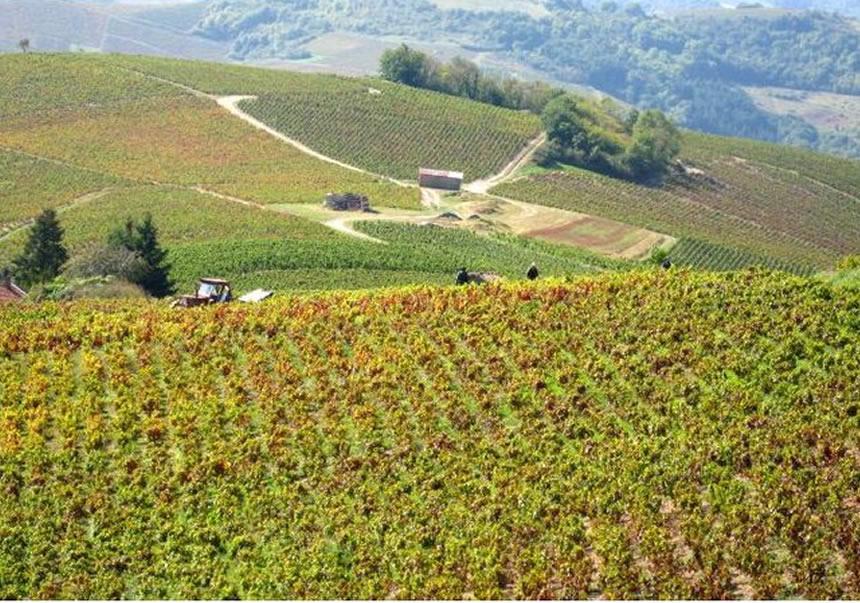 viñedo de Beaujolais