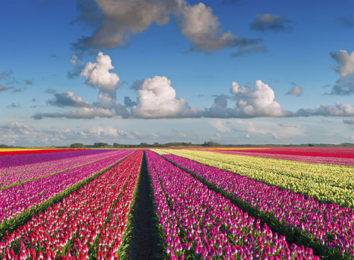 Keukenhof, tulipanes
